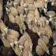 نکاتی پیرامون مدیریت گله های گوسفند در طی یک سال