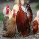 مدیریت استرس گرمایی در مرغان تخمگذار