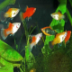 ماهیان گرمسیری (tropical)
