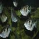 ماهیان لب شور (brackish)