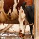 تغذیه و مدیریت در دوره خشکی در گاو شیری