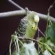 تغییرات فصلی و کنترل دمای محیط زندگی مرغ عشق