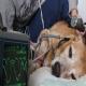 مراقبت های ویژه از حیوان دچار شوک