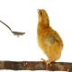 متابولیسم کلسیم در پرندگان