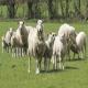 روش همزمانی فحلی با استفاده از پروستاگلاندین در گوسفندان