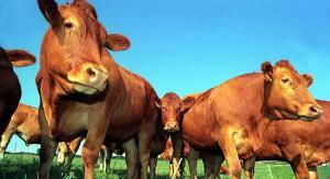 پرورش گاو گوشتی