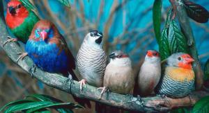 دیگر پرندگان زینتی